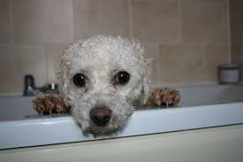 bichon frise jumping sspca to rehome bichon frise daily record