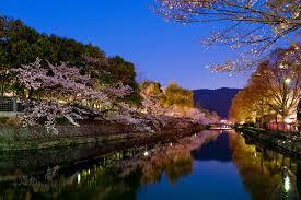 jeffrey friedl u0027s blog evening cherry blossoms and some white