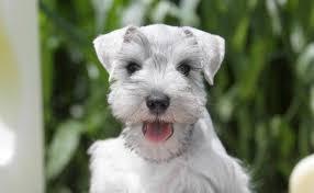 mini schnauzer haircut styles miniature schnauzer care and training beverly hills dog training