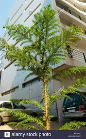 christmas tree for sale at bandra in bombay mumbai maharashtra