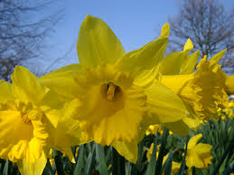free stock photo of daffodil photoeverywhere