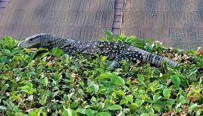 4 foot long lizard found in southern california backyard atlanta