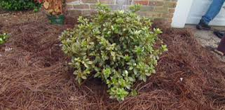 Small Shrubs For Front Yard - how to plant azaleas and other shrubs in your yard today u0027s homeowner