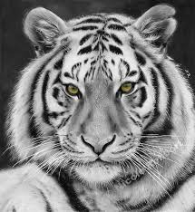 black and white tiger drawing by quelchii on deviantart
