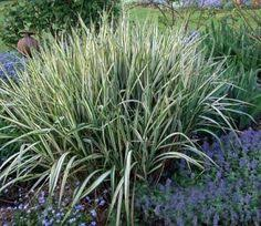12 beautiful ornamental grasses ornamental grasses