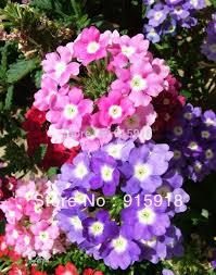 Verbena Flower Online Get Cheap Verbena Plants Aliexpress Com Alibaba Group