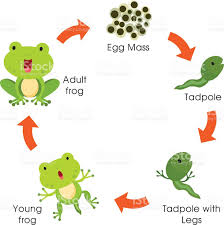 life cycle of the frog stock vector art 499243449 istock