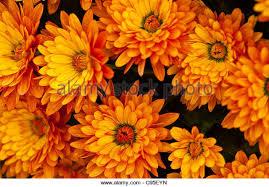 flower flowers mum mums stock photos u0026 flower flowers mum mums