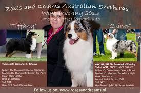 diamond s australian shepherds tiffany quinn