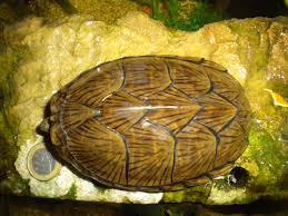 Texas Map Turtle Red Bellied Turtles Georgiabeforepeople