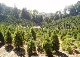 santa cruz mountains christmas trees house to home blog
