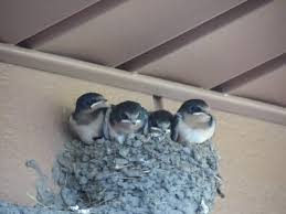 Barn Swallow Eggs Barn Swallow Nest Youtube