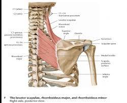 Innervation Of Infraspinatus Omm Shoulder Omm Shoulder Flashcards Memorang
