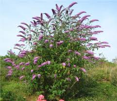 butterfly bush drenching the air with a fruity scent butterfly