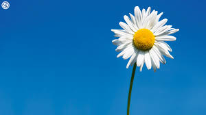 daisies wallpapers daisies high quality kz645 mobile and