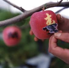 apple japan uc photographer captures japanese apple bagging method university