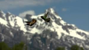 hummingbird facts u0026 some beautiful footage youtube