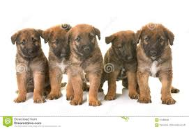 belgian sheepdog brown puppies belgian shepherd dog laekenois stock photo image 91490848