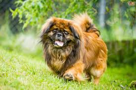affenpinscher skin problems common health issues seen in affenpinschers pets4homes