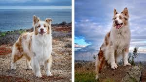 australian shepherd orange county 88 must follow dogs of instagram accounts sunset veterinary clinic