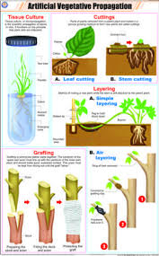 Vegetative Propagation By Roots - asexual reproduction by peyton nebens by mnebens infogram