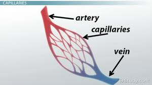 blood vessels arteries capillaries u0026 more video u0026 lesson