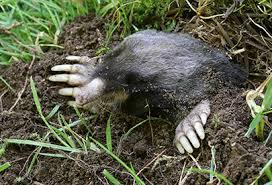 How To Get Rid Of Moles In The Backyard by Moles Voles U0026 Rats A Yard U0026 Garden Nightmare
