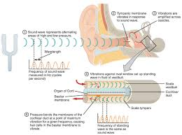 how do sound waves travel images 15 3 hearing anatomy physiology jpg