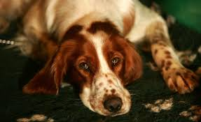 types of setter dog breeds irish red and white setter 22 disappearing dog breeds pictures