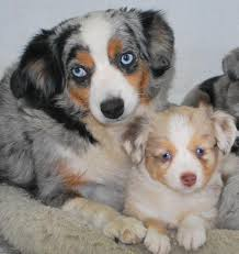 australian shepherd uglies available aussie puppies