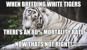 Tiger Meme - white tiger memes imgflip