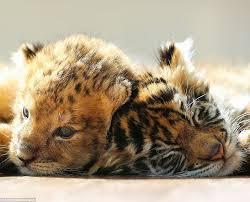 adorable photographs show inseparable tiger lion cubs