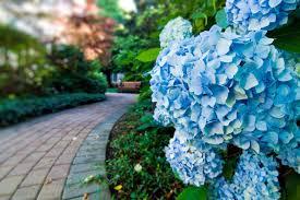 hydrangea blue hydrangea diy
