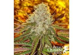Wedding Cake Kush Royal Cookies Cannabis Seeds