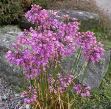 Rock Garden Society Allium Thunbergii American Rock Garden Society