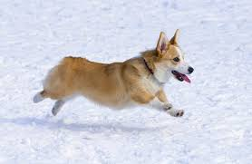Types Of Dogs What Types Of Dogs Have Short Tails Cuteness