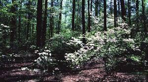 native woodland plants native shrubs for mississippi landscapes mississippi state