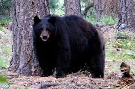 encountering a black bear bear smart durango