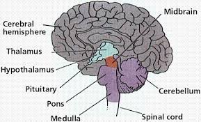 Which Part Of The Brain Consists Of Two Hemispheres The Nervous System