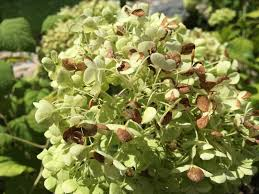 burned brown sun scorch on annabelle hydrangea backyard neophyte