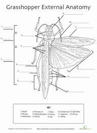 grasshopper anatomy worksheet education com