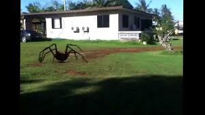 giant spider on guam youtube