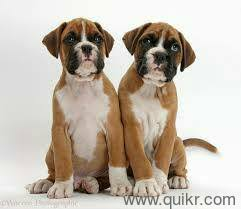 boxer dog quikr boxer pups for sale in delhi 9911117704 boxer pups for sale in