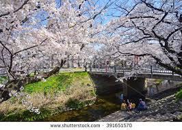 beautiful blossoms weeping plum tree japanese stock photo