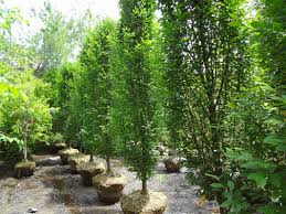 excellent selection of deciduous trees and evergreen trees at out