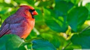 northern cardinal birds wallpapers creative northern cardinal
