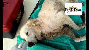 dog cremation pets cremation golden fifi taman segar born 18 dec 2013 by pets