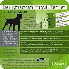 american pit bull terrier zucht american pit bull terrier verspielter u201elistenhund u201c
