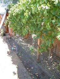 chickens in the garden vegetable gardening forum gardenweb