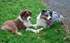 is an australian shepherd smart the australian shepherd usasa